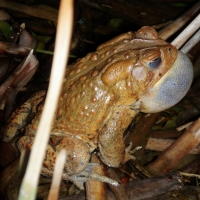 Photo of American toad with vocal sac inflated.