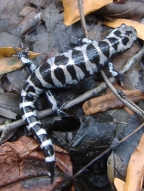 Marbled salamander, photo copyright Jeffrey Campbell