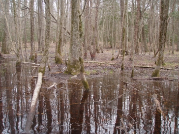 Vernal pool in April at Jug Bay Wetlands Sanctuary, Patuxent River, Maryland